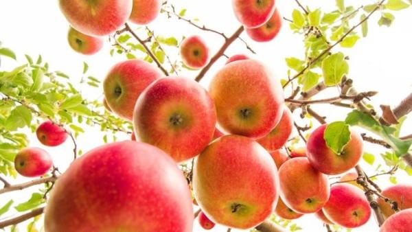 Siider nendest õuntest