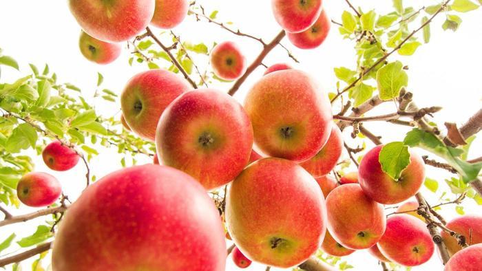 Need õunad me pudelisse pistsimegi