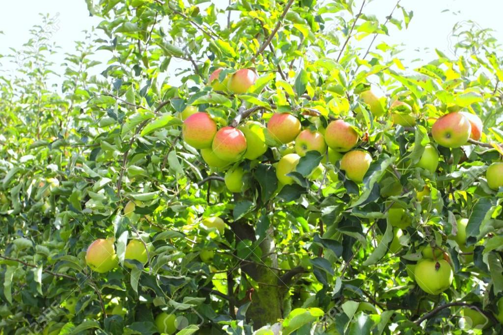 õunaaed